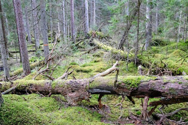 Rävsätter urskog innehåller en blandning av tall och gran samt stora mängder fallna träd och stubbar.