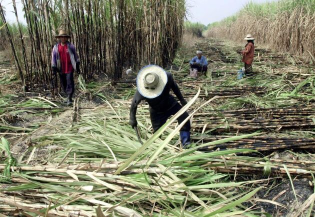Priset på socker, bland annat framställt av sockerrör, sjunker globalt. Arkivbild.