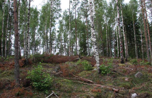 """Ett exempel på hur det kan se ut när man gjort en """"viltvårdsanpassad röjning"""" - buskar, mindre träd och lövträd sparas som bland annat skydd för viltet."""