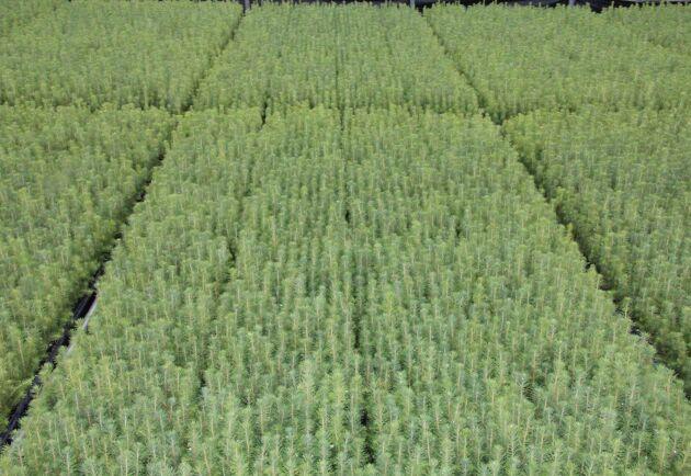 Investeringarna uppges öka produktionsvolymen från dagens 15 miljoner plantor per år till 21 miljoner.