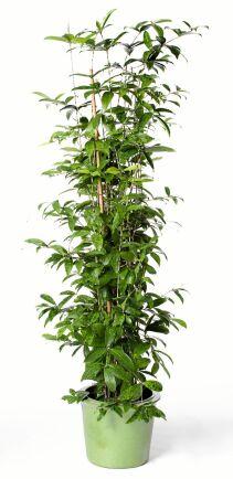 Buskdracenan är en luftrenare med extra mycket bladfärg.