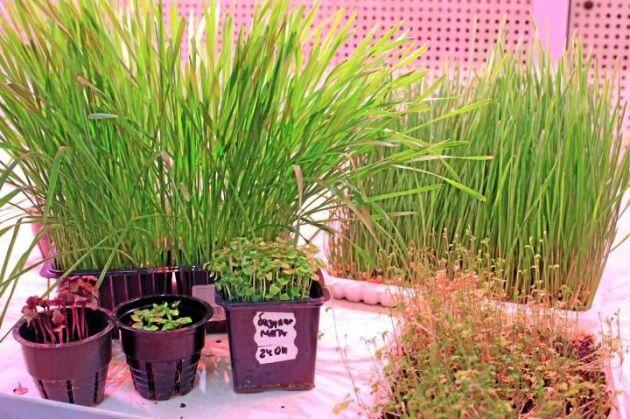Dessa växter har odlats i TPU:s fototron. Första gröda att odlas i det nya smarta växt blir gurkor.