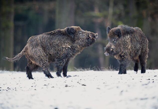 Flera förslag som ska minska vildsvinsstammen ska komma snart från regeringen, enligt landsbygdsminister Jennie Nilsson.