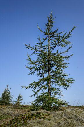 Ett ungt ryskt lärkträd reser sig mot himlen.