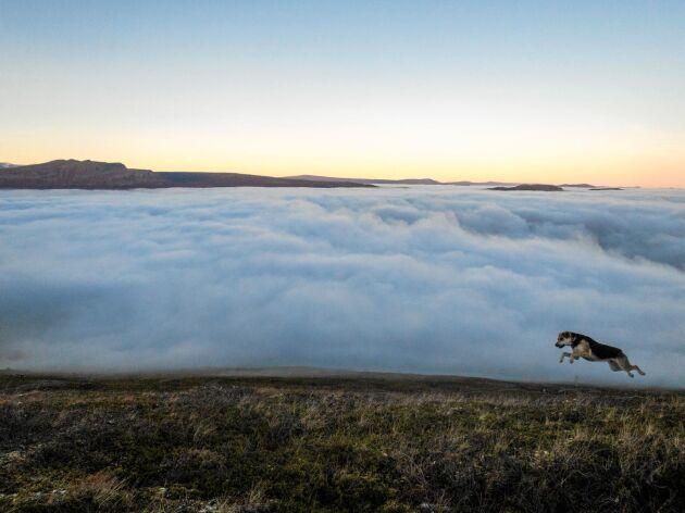 Flygande hund. Det här är Hasse, precis när husse lärt honom flyga. Mats Jacobsson, Vintrosa, tog bilden strax söder om Saltoluokta fjällstation några mil väster om Gällivare.