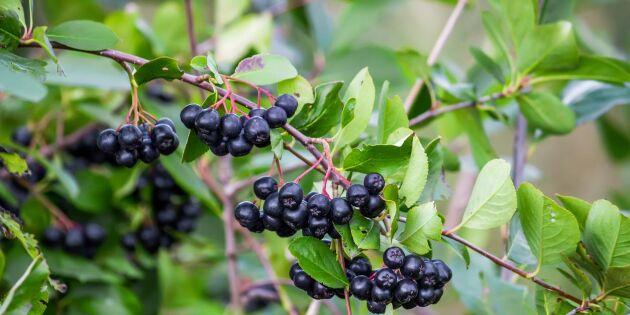 Aroniabär -superbäret som kanske växer hos dig