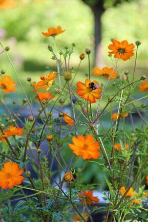 Gullskära 'Orange' blommar långt in på hösten och är även vacker i vasen.