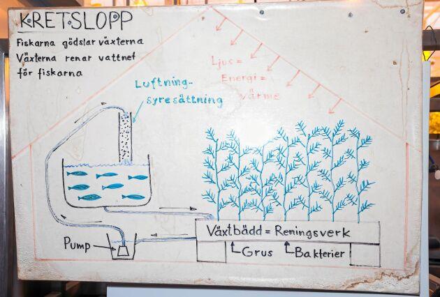 Teckning som förklarar kretsloppet. Fiskarna gödslar växterna och växterna renar vattnet åt fiskarna.