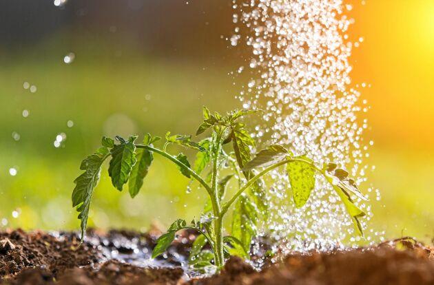 Vattna mer när plantan är liten, mindre när frukten växer till.