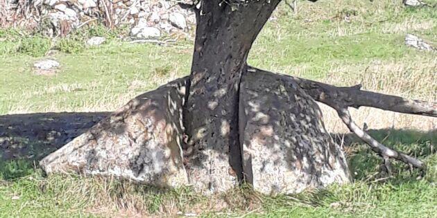 Trädets sprängkraft besegrar stenen