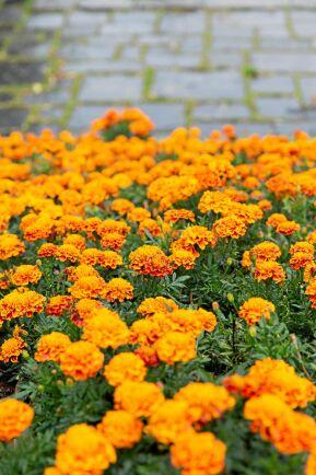 Sammetstagetes har ett kompakt växtsätt och blommar tätt och rikligt hela sommaren, särskilt om man nyper bort de överblommade fröställningarna.