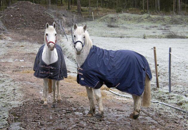 D-ponnyerna kom nyligen hem från Irland. De är en av pusselbitarna som gör att Angelica Lauth kan växla upp sin verksamhet.
