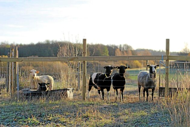 De två fåren som stals ingick i en rekryteringsgrupp och var extremt tama, ett av dem hade gårdens barn fött upp med flaska.