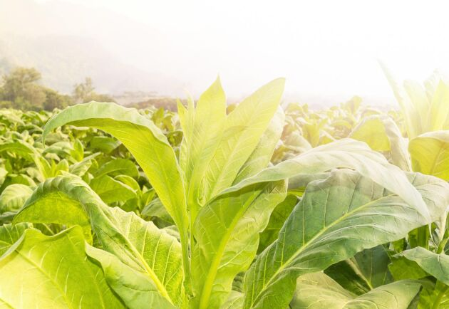 Tobaksplantor. Arkivbild