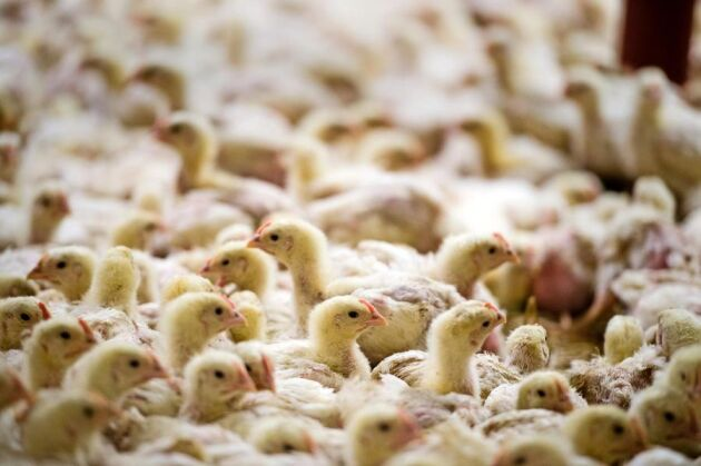 Konsumenternas efterfrågan på Krav-märkt kyckling har lett till att många producenter valt att ställa om till ekologisk produktion.
