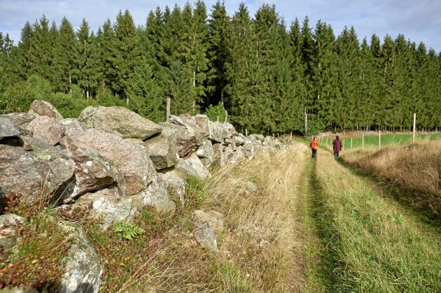 Genom det varierade, gamla kulturlandskapet på skånska Linderödsåsen går Helenas populära vandringar.