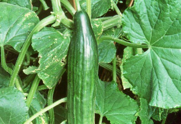 När gurkan är i säsong räcker den svenskodlade till, men resten av året behöver Sverige importera gurka. Arkivbild.