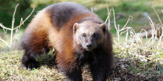 Svenska djur riskerar att försvinna - ny studie varnar