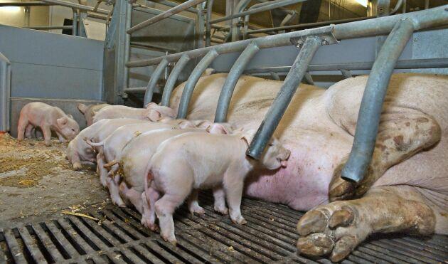 Vid ett seminarium på den danska Svinekongresen i Herning diskuterades antibiotikaanvändningen inom grisproduktionen. Bilden är tagen vid annat tillfälle.