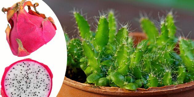 Så sår du drakfrukt – en kaktus som växer i ilfart!