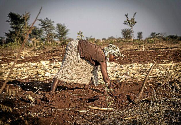 Den malawiska bonden Biata Chisi kämpar för att ge mat till familjen.