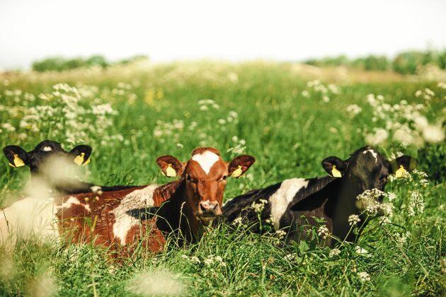 Sverige är det enda land i världen som har krav på att korna ska beta utomhus under sommaren.