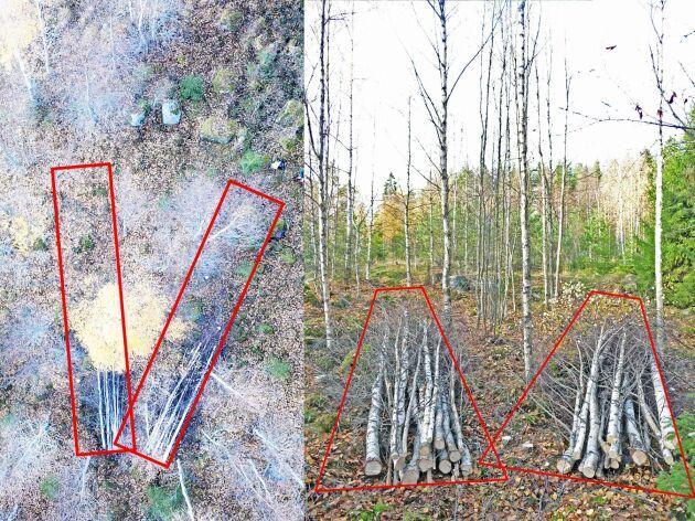 Exempel på korridorer för schablonartad korridorgallring. Två korridorer á 2×10 m2 utlagda i ett tätt björkbestånd. Vid korridorgallring avverkas träden som står i korridorerna, medan träden utanför korridorerna lämnas att växa vidare.