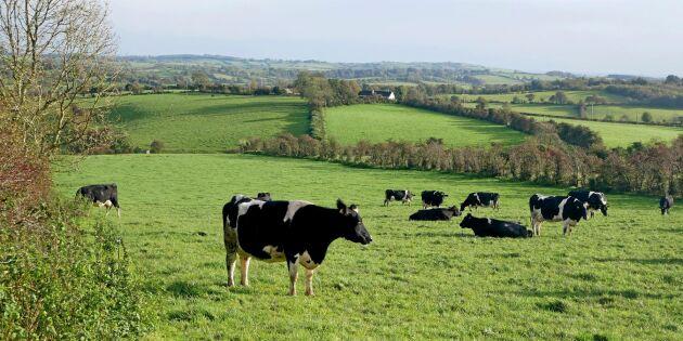 Stort läckage från irländsk mjölkproduktion