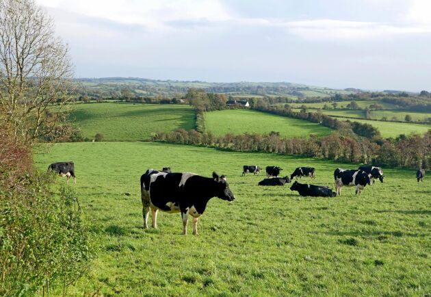 På grund av den kraftigt expanderande mjölkproduktionen i Irland har kväve- och fosforhalter i vattendrag och kustvatten ökat kraftigt.