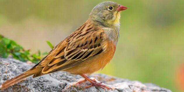 Fåglarna som ökar – och minskar – mest i Sverige