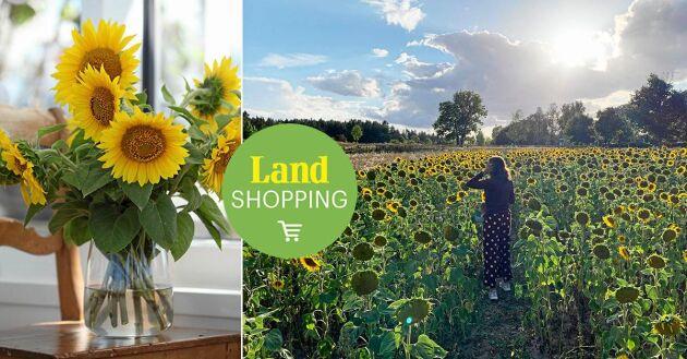 Längs riskväg 70 ligger Kusgården i Frösthult, här har Katja och Robert Ihrsén odlat solrosor i 10 år.