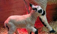 Första Kerry Hill-lammen födda