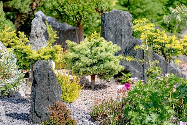 Små barrväxter är tacksamma att kombinera med stenar. I mitten står ett miniträd av berggran 'Alpine Beauty'.