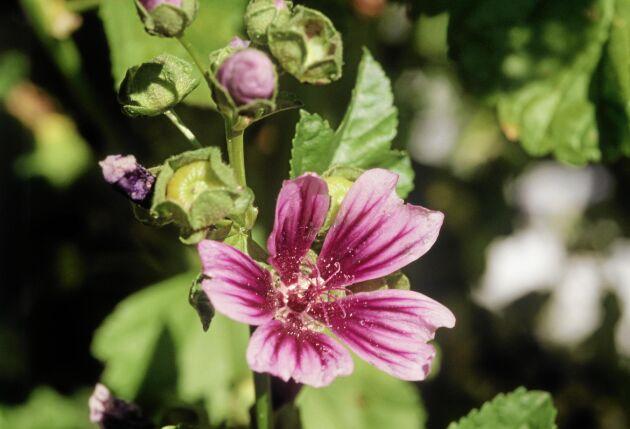 4) Rosenmalva, Malva alcea 'Fastigiata' är en gammal trädgårdsväxt med buskigt växtsätt. Den blir 80 centimeter hög och får djuprosa blommor.