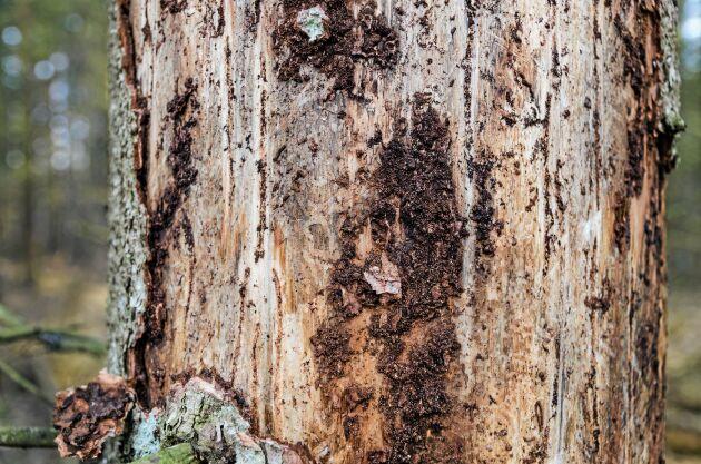 Sedan mitten av augusti har 12 000 kubikmeter skog nödavverkats på Strömsrums gård.