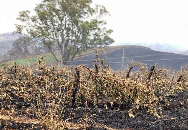 Delar av Adelaide Hills i South Australia, som så här års brukar vara prunkande grönt, skiftar i brunsvart efter de katastrofala bränderna.