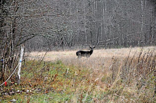Flera dovhjortar visade sig under Land Skogsbruks rundtur på Boo egendom i Hjortkvarn i Sydnärke. Den här kom närmast.