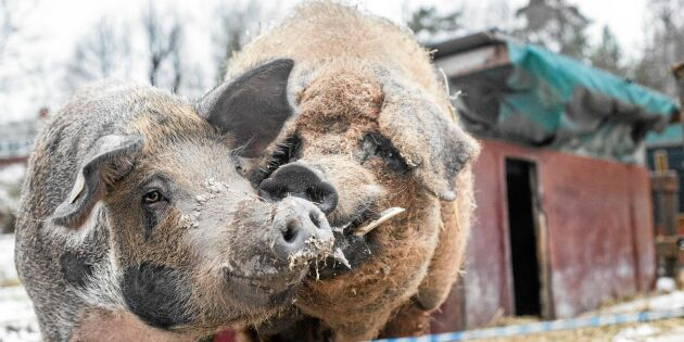 Kolla in gårdens grymt gulliga & ulliga grisar