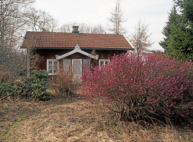 Vår svenska tibast är väl värd en plats i trädgården. Blommorna som kan slå ut redan i februari bjuder på doftande skönhet såväl som näring för nyvakna pollinerare.