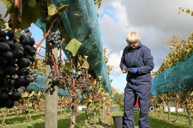 Tina Nilsson mitt i den skånska vinskörden. Flera vingårdar började skörda efter en frostnatt förra veckan.