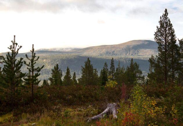 Efter Änok-domen 2015 får skogsägare med fjällnära skog oftare avslag på sina ansökningar om avverkning. Arkivbild.