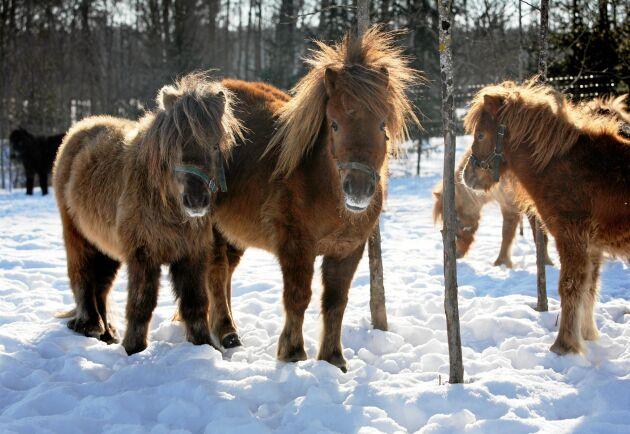 Hästar som är ovaccinerade får svårare att återhämta sig från influensan.