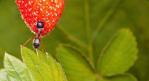 En myra tar vägen över jordgubben på väg till bladlössen.