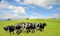 Masstöld av dräktiga mjölkkor