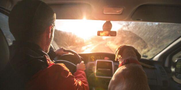 Låter du din hund sitta lös i bilen? Då bryter du mot lagen