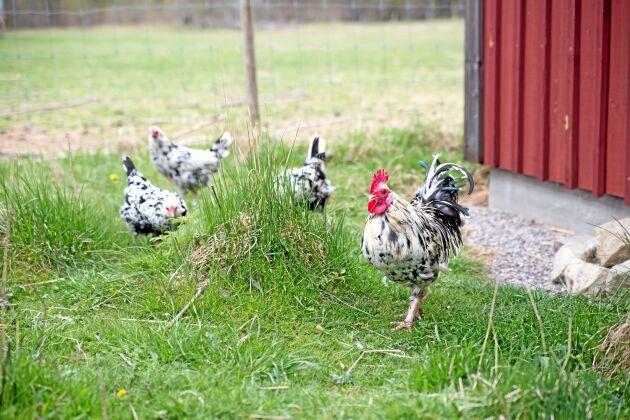 Det är rasen Orusthöns som går hemma på Anns gård och pickar, en ras hon föll för för flera år sedan.
