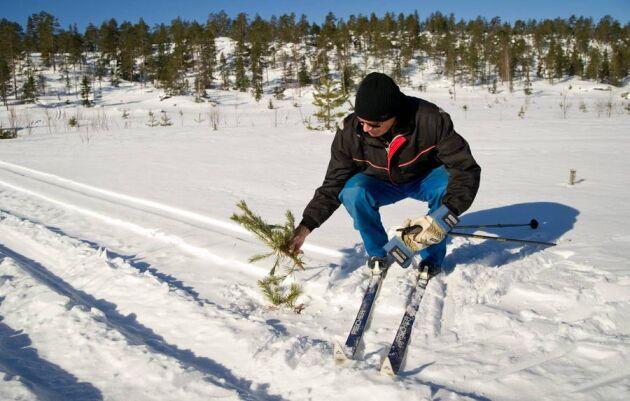 Almer Holmberg i Tavelsjö i Västerbotten fick se sina tallplantor skadade av vårdslösa snöskoteråkare i fjol, som Skogsland skrev om då. Många markägare upplever att snöskoteråkarnas framfart bara blir värre.