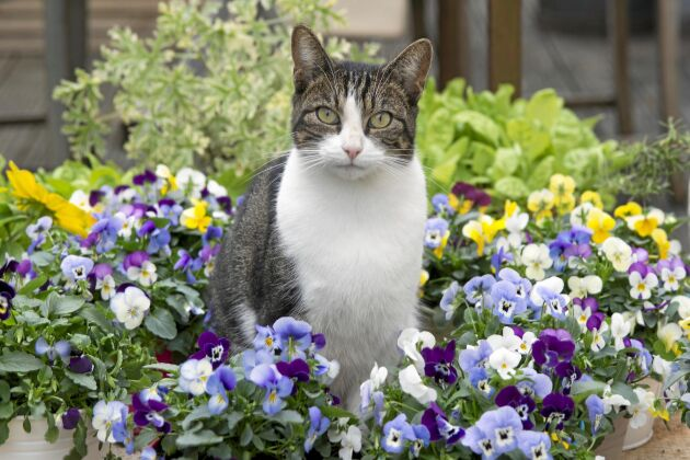 Slösa med blommorna. När penséer trivs kan du ha många.