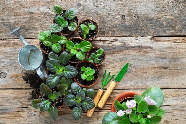 När det väl är dags att plantera om en saintpaulia kan det vara läge att dela den.
