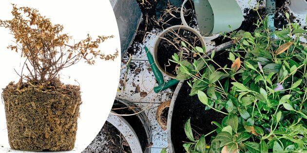 Återanvänd gammal jord och krukor – så vet du vad som kan sparas